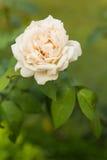 Rosa di bianco Fotografia Stock