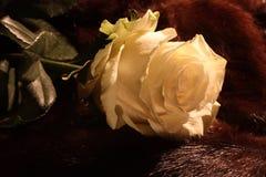 Rosa di bianco Immagine Stock