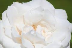 Rosa di bianco Immagini Stock