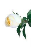 Rosa di bianco Immagini Stock Libere da Diritti