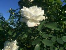 Rosa di bianco che fiorisce il chiaro giorno Fotografia Stock