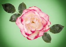 Rosa di bianco con fondo rosa e verde chiaro, foglie verdi Immagine Stock Libera da Diritti
