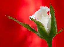 Rosa di bianco con fondo rosso Fotografia Stock
