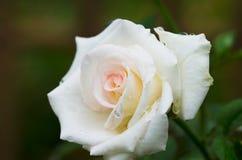 Rosa di bianco con goccia di pioggia Fotografie Stock Libere da Diritti