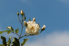 Rosa di bianco con i germogli Fotografia Stock Libera da Diritti
