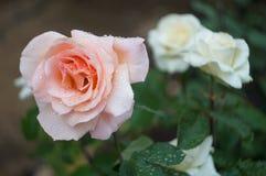 Rosa di bianco con le gocce di acqua dopo pioggia Immagini Stock Libere da Diritti