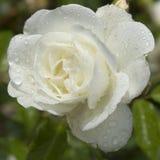 Rosa di bianco con le gocce di pioggia Immagine Stock