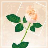 Rosa di bianco con stile d'annata Fotografia Stock Libera da Diritti