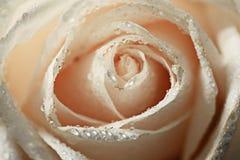 Rosa di bianco dei petali Immagine Stock