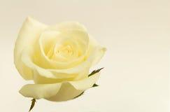 Rosa di bianco del fiore con effetto d'annata Fotografia Stock
