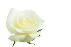 Rosa di bianco del fiore su bianco isolata Immagine Stock Libera da Diritti