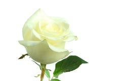Rosa di bianco del fiore su bianco isolata Fotografia Stock Libera da Diritti