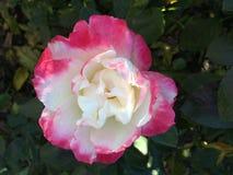Rosa di bianco e di rosa Fotografia Stock Libera da Diritti