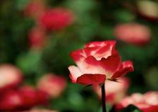 Rosa di bianco e di rosso Fotografia Stock Libera da Diritti