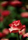 Rosa di bianco e di rosso Fotografie Stock Libere da Diritti