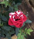 Rosa di bianco e di rosso Fotografia Stock