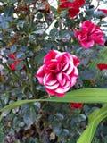 Rosa di bianco e di rosso Immagini Stock