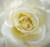 Rosa di bianco, fine su Fotografie Stock