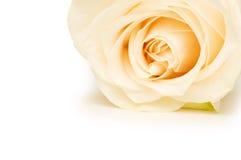 Rosa di bianco isolata Fotografia Stock