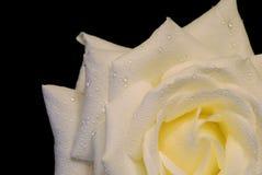 Rosa di bianco isolata sopra il nero, con le gocce Immagine Stock