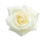 Rosa di bianco isolata su bianco Fotografia Stock Libera da Diritti