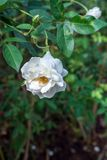 Rosa di bianco nel giardino Immagini Stock Libere da Diritti