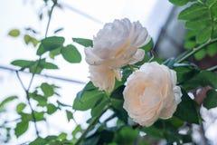 Rosa di bianco nel giardino Immagine Stock