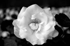 Rosa di bianco nel nero immagini stock