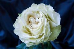 Rosa di bianco su velluto blu Fotografia Stock