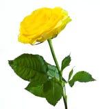 Rosa di colore giallo isolata su bianco Fotografie Stock Libere da Diritti