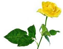 Rosa di colore giallo isolata su bianco Immagine Stock Libera da Diritti