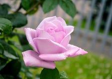 Rosa di colore rosa Fotografie Stock Libere da Diritti