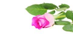 Rosa di colore rosa isolata su bianco Fotografie Stock Libere da Diritti