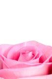 Rosa di colore rosa isolata su bianco Immagine Stock