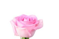 Rosa di colore rosa isolata su bianco Fotografia Stock Libera da Diritti