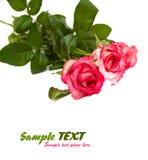 Rosa di colore rosa isolata su priorità bassa bianca Immagine Stock