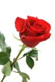 Rosa di colore rosso Fotografia Stock