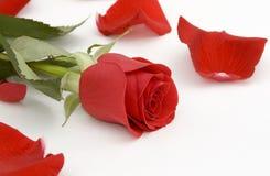Rosa di colore rosso e petali di rosa Immagine Stock Libera da Diritti