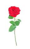 Rosa di colore rosso, isolata. Fotografia Stock Libera da Diritti
