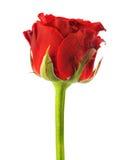 Rosa di colore rosso isolata Immagine Stock Libera da Diritti