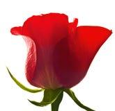 Rosa di colore rosso isolata Fotografia Stock
