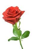 Rosa di colore rosso isolata Immagine Stock