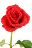 Rosa di colore rosso isolata su bianco Fotografia Stock