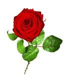 Rosa di colore rosso isolata su bianco Immagini Stock Libere da Diritti