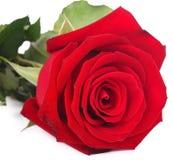 Rosa di colore rosso isolata su priorità bassa bianca fotografia stock