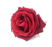 Rosa di colore rosso isolata su priorità bassa bianca Immagine Stock