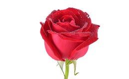 Rosa di colore rosso isolata su priorità bassa bianca Immagini Stock