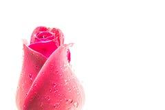 Rosa di colore rosso isolata su priorità bassa bianca Fotografia Stock Libera da Diritti