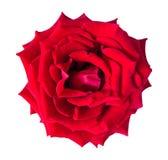 Rosa di colore rosso isolata su priorità bassa bianca Fotografie Stock Libere da Diritti