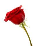 Rosa di colore rosso isolata sui precedenti bianchi fotografia stock